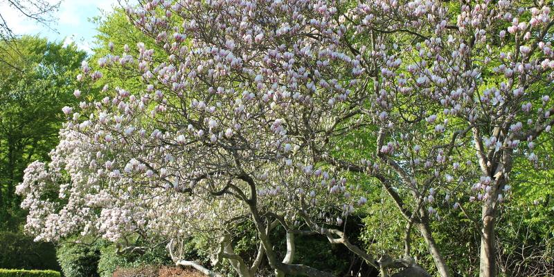 træ med hvide blomster i april