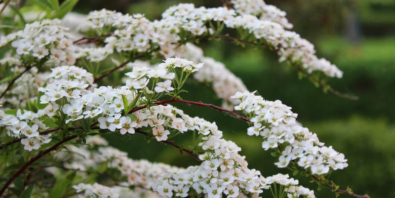 hæk med små hvide blomster